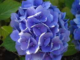 purple hydrangea file purple hydrangea jpg wikimedia commons