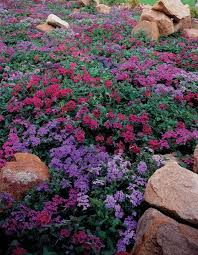purlple verbena heat and drought tolerant 6 12 inches great for