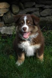 shaving a australian shepherd ten things to know about the u0027aussie u0027 the dogsmith