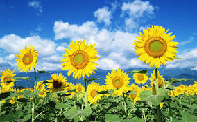 foto wallpaper bunga matahari sunflower flower wallpaper flower dreams