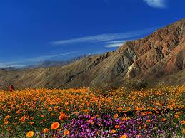 borrego springs ca where desert wildflowers spring to life