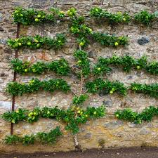how to decorate the garden with espalier columbia metro