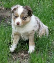 south dakota australian shepherd rescue sagonige mini aussies home facebook