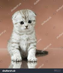 gray and white scottish fold dog and cat