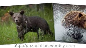 awsome bear pictures amazing grizzly images cute polar bear