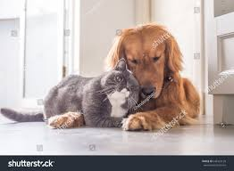 british cat golden retriever stock photo 646123120 shutterstock