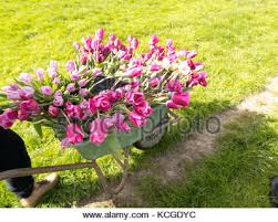 Tulip Bouquets Beautiful Tulip Bouquets In Buckets And Wheelbarrow Stock Photo