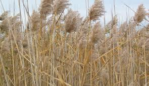 grassland native plants threats to native grasslands biodiversity of the western
