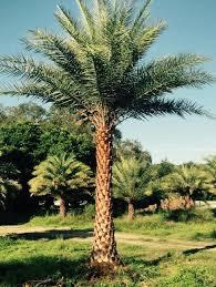 sylvester palm tree price sylvester palms