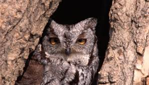 screech owl habitat sciencing