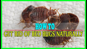 natural bed bug remedies 9 effective home remedies to get rid of bed bugs naturally best