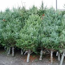 fraser fir christmas tree premium fraser fir nassau christmas tree delivery