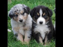 australian shepherd puppy cut cute australian shepherd puppies video compilation youtube