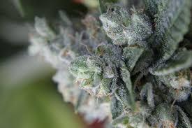 Colorado Recreational Dispensary Map by Premium Marijuana Dispensaries Medical U0026 Recreational Marijuana
