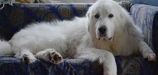 great pyrenees rescue provides wonderful dogs to good homes animal browse
