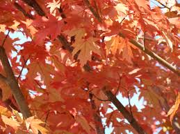 red autumn leaves art prints sunlit fall tree leaf baslee tr