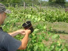 grape propagation u2013 air layering beavers family vineyards and