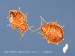 What Does Bed Bugs Eggs Look Like Where Do Bed Bugs Come From Identify Bed Bugs Info