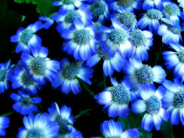 Blue Flower Backgrounds - flowers backgrounds 336182 blue flowers wallpapers by ernie cate