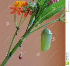 monarch butterfly chrysalis and milkweed plant stock image image