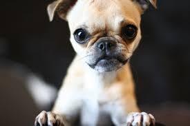 pug x boxer dog chug dog chihuahua pug mix info temperament grooming training