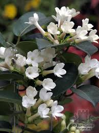 stephanotis flower stephanotis floribunda from burncoose nurseries