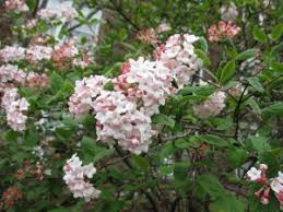Flowering Shrubs That Like Full Sun - flowering shrub list dammanns