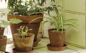 large houseplants how to get rid of black flies on house plants the telegraph