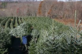 find your perfect christmas tree at cut and choose farms garden