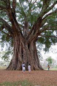 wonder tree canlaon negros oriental it is believed to be 1 328