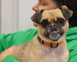 american eskimo dog rescue indiana indianapolis in pug meet quasimodo a dog for adoption