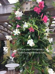 mandevilla in the garden with maria