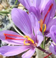 saffron can be grown in maine but it can be labor intensive