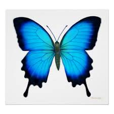 papilio ulysses butterfly my fav linway butterfly
