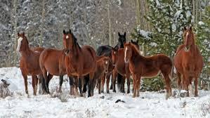 rancher defends alberta u0027s wild horse capture calgary cbc news
