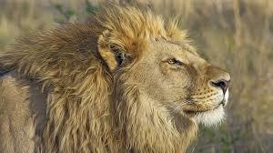 wildlife safari lion animal king hd wallpapers 4k