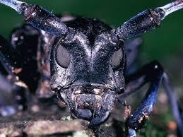 Indiana travel bug images Invasive beetle threatens thousands of indiana trees jpg