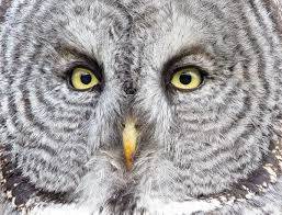 the great gray owl probably has bigger eyes than you audubon