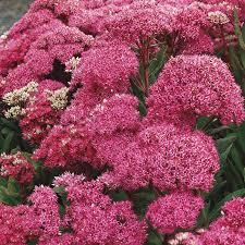 sedum plants stonecrop perennials are highly resistant to