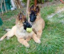 belgian shepherd 4 months 26 bästa bilderna om belgian shepherds på pinterest systrar