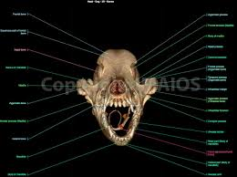 3d Head Anatomy The Canine Head And Skull Ct Atlas Of Veterinary Clinical And