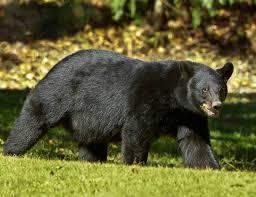Louisiana wildlife images Teddy roosevelt the teddy bear and the deep south national jpg