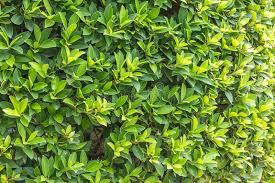 ornamental shrubs wall shrubs stock photo image 54314987
