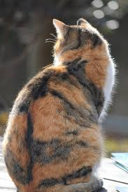 calico cats the cat site