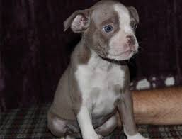 american pitbull terrier gumtree 10 best quotes about dogs images on pinterest animals puppies