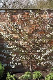 best 25 cherry tree ideas on cherry blossoms