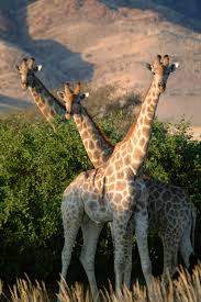 offer new insights into the distribution of giraffes