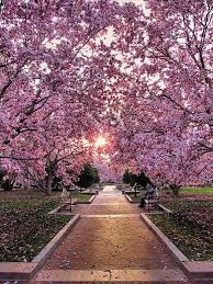 best ways to enjoy the d c cherry blossom festival blossoms