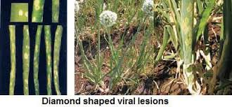Symptoms Of Viral Diseases In Plants - onion diseases and symptoms u2014 vikaspedia