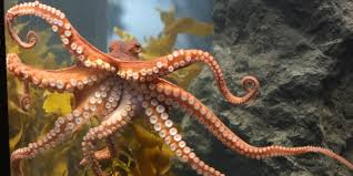 octopuses u0027see u0027 through their skin and camouflage accordingly